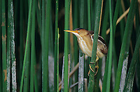 Least Bittern, Ixobrychus exilis, male, Welder Wildlife Refuge, Sinton, Texas, USA, May 2005