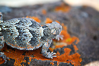 Horn toad near Lake Abert,Oregon