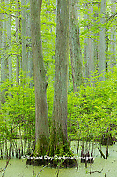 63895-14608 Bald Cypress trees (Taxodium distichum) Heron Pond Little Black Slough, Johnson Co. IL