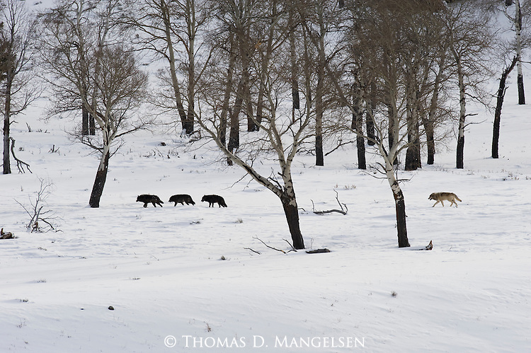 Wolves in the Druid pack walk trough the trees in Yellowstone National Park, Wyoming.