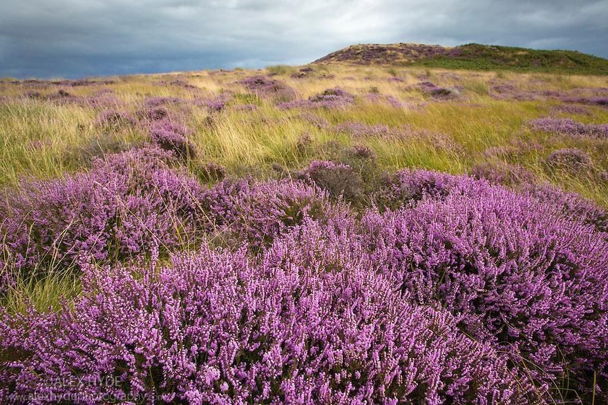 Ling Heather {Calluna vulgaris} Peak District National Park, Derbyshire, UK. August.