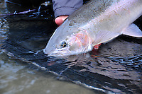 Steelhead trout from a tributary of the Skeena river in British Columbia.