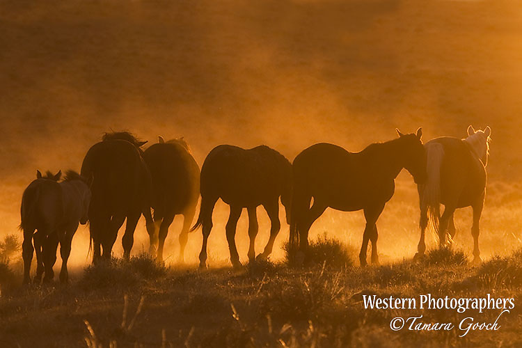 A photo of a silhouetted band of wild horses at sunset.