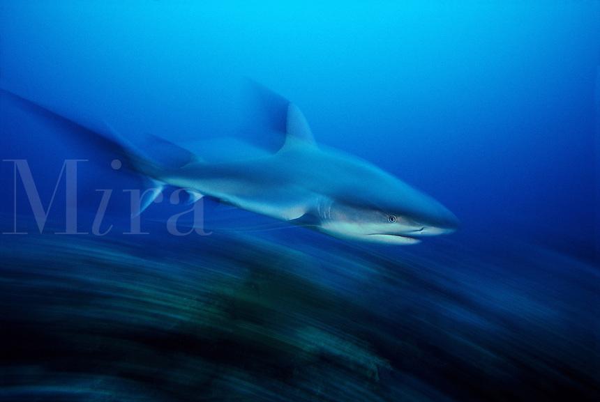 Motion blurred image of a Caribbean Reef Shark, Carcharhinus perezi, Nassau, Bahamas.<br />