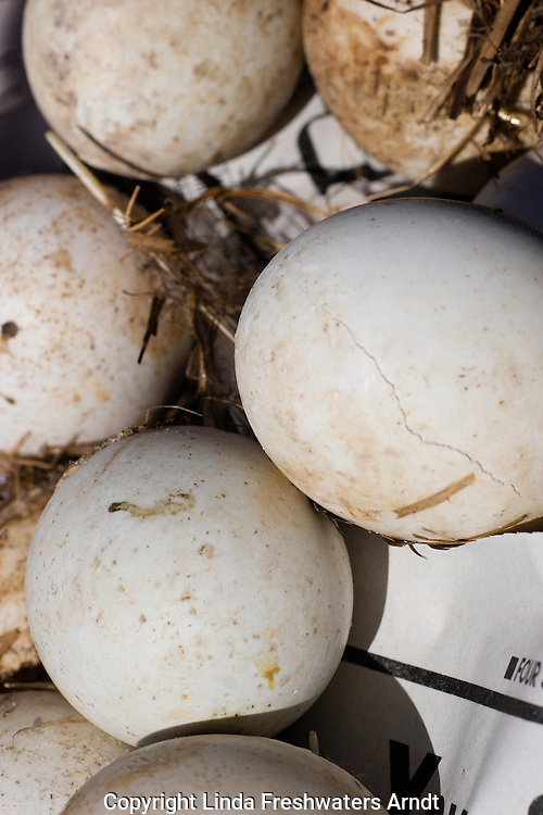 Unhatched eggs found when cleaning out a wood duck nest-box.  Winter, WI.