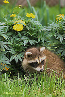 MA22-023x  Raccoon - young animal exploring in garden - Procyon lotor