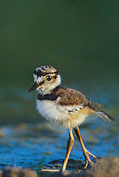 554550002v a wild precocial killdeer chick charadrius vociferous walks along the edge of a small pond in the rio grande valley of south texas