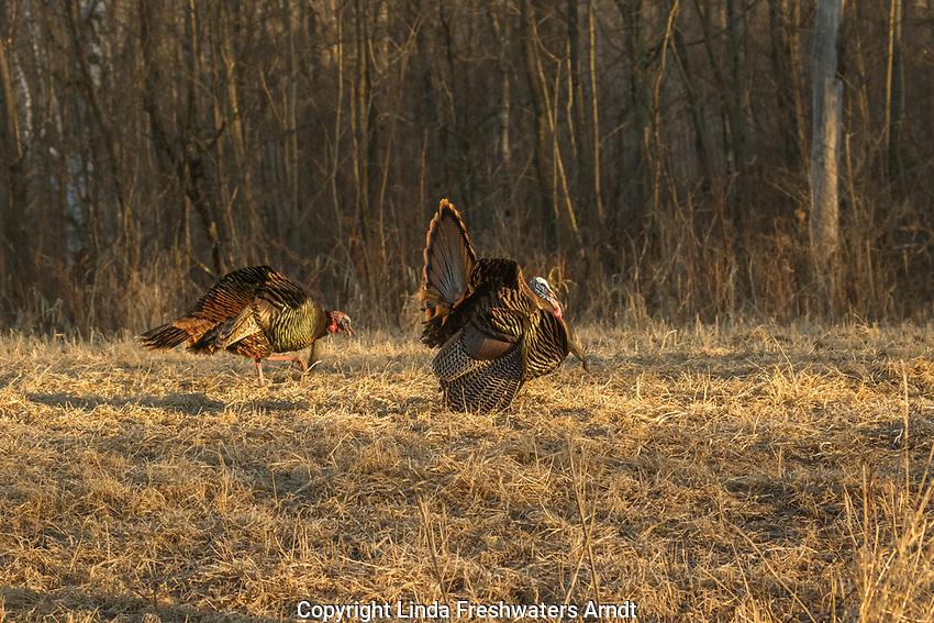 Eastern wild Turkeys