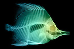 X-ray image of a butterflyfish (green on black) by Jim Wehtje, specialist in x-ray art and design images.