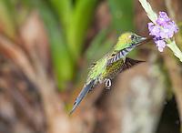 Male green-crowned brilliant hummingbird, Heliodoxa jacula. Tandayapa Valley, Ecuador