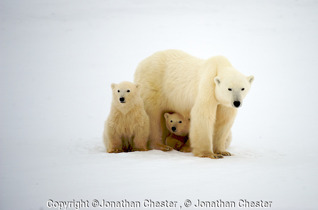 Polar Bear viewing from a Tundra Buggy at Cape Churchill. , Cape Churchill Manitoba