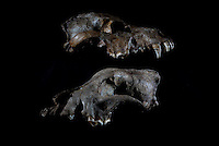 Belgium. Brussels. London. 17th November 2015<br /> Top, a wolf skull circa 25,000 years old. On the bottom, a dog skull believed to be 36,000 years old at the Royal Belgian Institute of Natural Sciences<br /> <br /> Andrew Testa for the New York Times