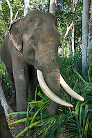 Rajan, an Asian Elephant, Elephas maximus, relaxes with a snack in the shade of the primary rainforest at Beach #7, Havelock Island, Andaman Islands, Andaman Sea, India