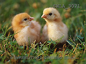Carl, ANIMALS, wildlife, photos, 2 chicken(SWLA3071,#A#)