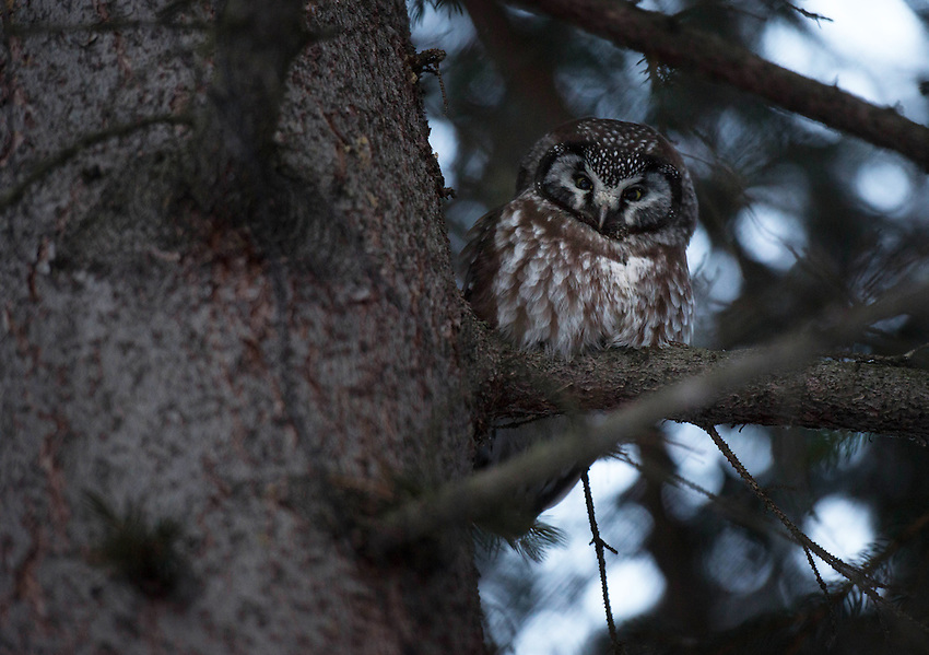 Boreal Owl -- Aegolius funereus -- A small owl found across the taiga forest of Europe, Asia, and the United States. This one was in my front yard, much to the consternation of the resident chickadees, Steller's Jays, and nuthatches.