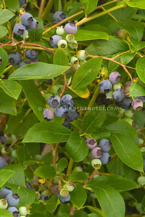 Blueberry Polaris growing in fruit showing closeups of berries ripening. Highbush blueberries, Vaccinium corymbosum