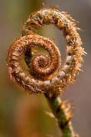 Western Sword Fern, (Polystichum munitum) spring fronds unfolding, East Bay Regional Park Botanic Garden, California native plant