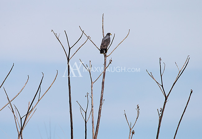 A common black hawk finds a nice perch.