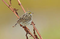Adult Savannah Sparrow (Passerculus sandwichensis). Seward Peninsula, Alaska. May.