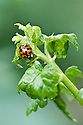 Harlequin ladybird (Harmonia axyridis f. succinea) on gooseberry, early May.