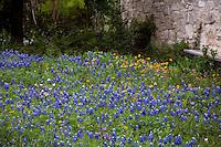Lupinus texensis, Texas bluebonnet lupines in wildflower meadow garden Lady Bird Johnson Wildflower Center