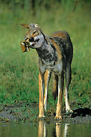 617500030 a wild coyote canis latrans stands at a small waterhole shaking its head on a private ranch in the rio grande valley of south texas