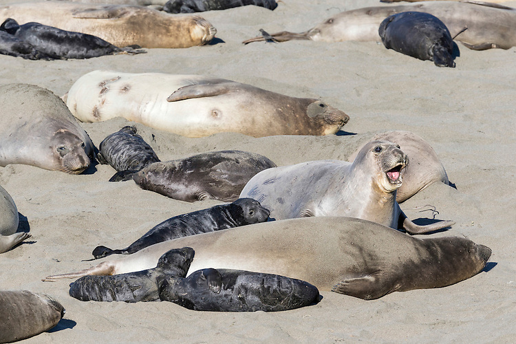 Northern Elephant Seal - Mirounga angustirostris - cows and pups in colony