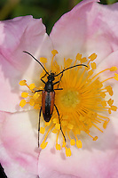 Kleiner Schmalbock, Gemeiner Schmalbock, Schwarzschwänziger Schmalbock, Männchen, Blütenbesuch auf Wildrose, Stenurella melanura, Strangalia melanura, Black and red Longhorn Flower Beetle, black-striped longhorn beetle