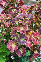 Coleus Solenostemon Stained Glass Tilt-a-Whirl Painted Nettle. Ornamental foliage plant with unusual round serrated edges leaves in colorful shades of pink, magenta and green
