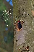 Schwarzspecht, baut an seiner Baumhöhle, Nest, Nesthöhle, Schwarz-Specht, Specht, Dryocopus martius, black woodpecker, Le Pic noir