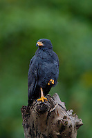 A Common Black-Hawk, Buteogallus anthracinus, perched on a tree stump; Corcovado, Costa Rica