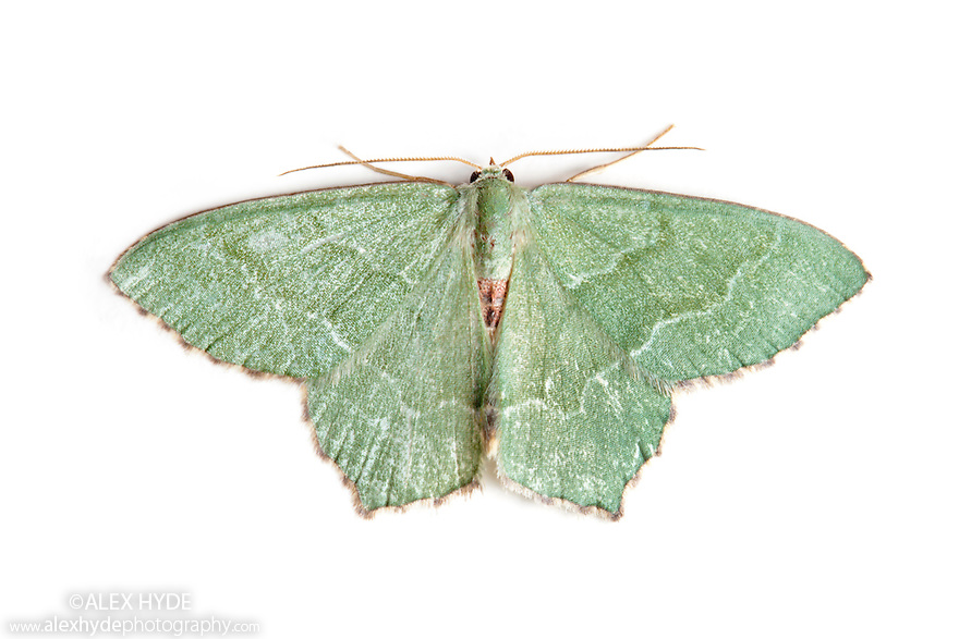 Common Emerald moth {Hemithea aestivaria} photographed on a white background. Pembrokeshire, UK. July.