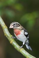 Rose-breasted Grosbeak, Pheucticus ludovicianus, immature male perched, Central Valley, Costa Rica, Central America, December 2006