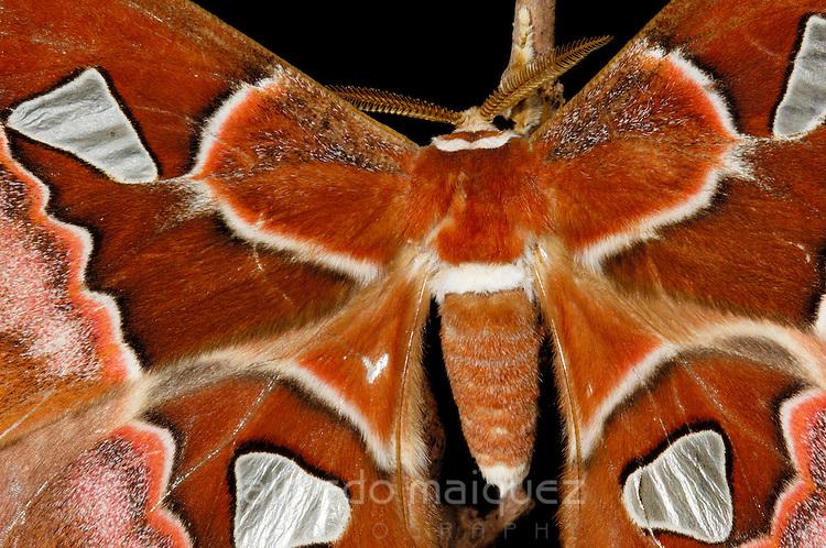 Oriziba Silkmoth (Rothschildia orizaba) Panama, central America