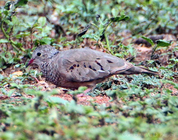 Common ground-dove male