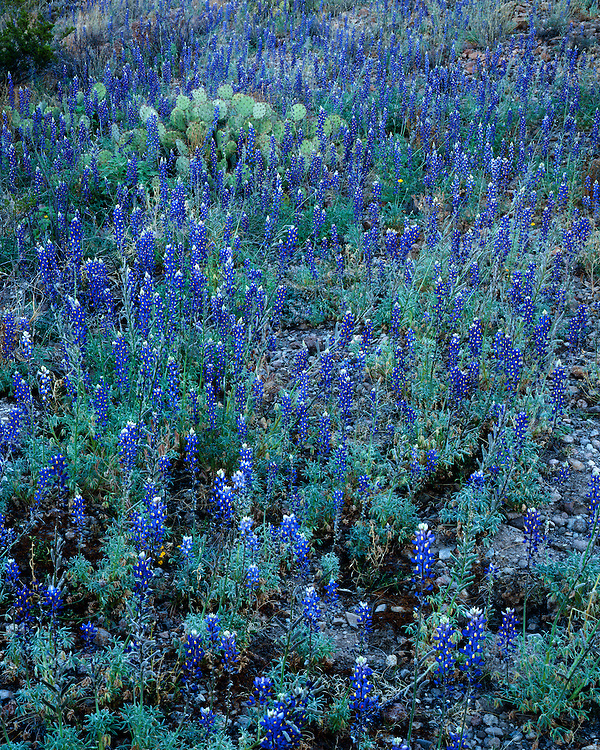 A field of Big Bend Bluebonnets (Lupinus havardii) near Castolon; Big Bend National Park, TX