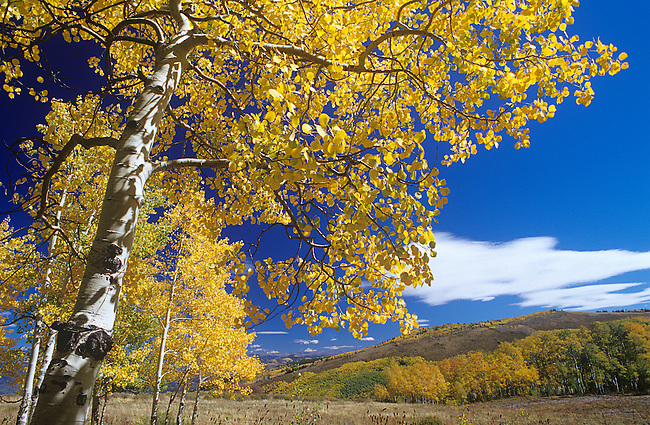 Autumn, Carbondale, Aspen Trees, Colorado