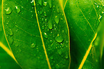 Water drops on Madrona leaf, Mimosa leaves, Japanese Red Maple Leaves, Junipers trees, fine art, environmental, nature, ecology, ecosystem, environmentalism,    ©2016. Jim Bryant Photo. ALL RIGHTS RESERVED.