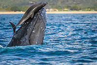 humpback whale, Megaptera novaeangliae, and common bottlenose dolphin, Tursiops truncatus, playing - the whale lifting the dolphin gently in the air while the dolphin sit still until it finally slipped off of the whale rostrum, Kauai, Hawaii, USA, Pacific Ocean