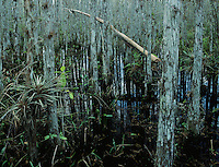 Cypress trees and bromeliad, Corkscrew Swamp Sanctuary, Florida, December 1998