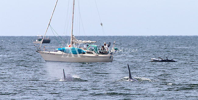 We were fortunate to encounter a few orcas on our final day.