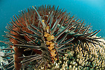 Crown-of-Thorns Starfish (Acanthaster planci) feeding on acropora coral.