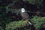 Bald eagle, Tongass National Forest, Alaska