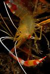 Golden Coral Shrimp, Stenopus hispidus, Blue Heron Bridge, Lake Worth, FL