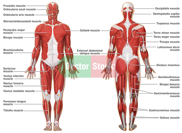 Anatomy of the Muscular System Doctor Stock