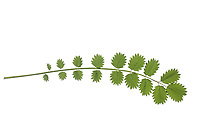 Kleiner Wiesenknopf, Pimpinelle, Pimpernell, Gartenpimpinelle, Garten-Pimpinelle, Frühjahrskraut, Sanguisorba minor, Salad Burnet, Small Burnet, garden burnet, burnet, la Pimprenelle sanguisorbe, la Pimprenelle. Blatt, Blätter, leaf, leaves