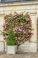 France, Indre-et-Loire (37), Montlouis-sur-Loire, jardins du château de la Bourdaisière, rosier grimpant 'Belle de Rémalard'