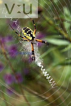 Golden Garden Spider ,Argiope aurantia,