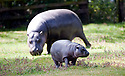 "Baby Hippo at Whipsnade Zoo - Sapo is a ""pygmy hippo"" of 3 months old - he was taking his first swim today after being introduced to the public at the zoo in Dunstable, Beds..He was seen with nervous mum Flora. Sapo needed some coaxing into the water. And struggled to scramble out till he got some help from his mum..Species is endangered......pic by Gavin Rodgers/ Pixel 8000.07917221968"
