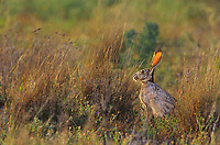 650228028 a wild black-tailed jackrabbit lepus californicus sits in wild grasses in a field in the lower rio grande valley of south texas united states